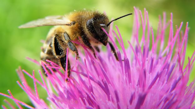 Radio broadcast ( in French) on pollinators and bees health